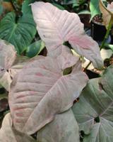 ต้นออมชมพู ใบด่าง (Pink Spot syngonium)