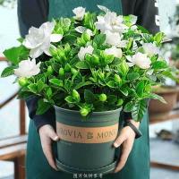 【大盆梔子花帶花苞發貨】梔子花盆栽室內花卉綠植水培除甲醛植物