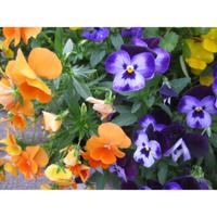 紫羅蘭種子 紫羅蘭 草紫羅蘭種子 草桂花種子 草紫羅蘭 草桂花 花卉種子 (農產種子郵購讚)
