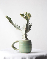 ไม้อวบน้ำ | ต้นยูโฟเบีย (Euphorbia)