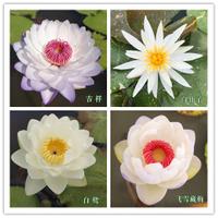 無土水培、碗蓮種子 10顆(吉祥、白仙子、白鷺、飛雪藏梅)碗蓮=荷花 水蓮種子  荷花種子 睡蓮種子