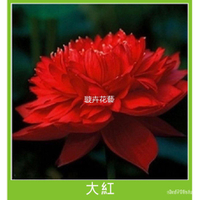 『雪原種子』36款蓮花種子 全色碗蓮種子 三元一粒 碗蓮種子 荷花種子 水生植物 植株 荷花種子