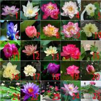『紫龍 種子』36款 全色碗蓮種子 三元一粒 碗蓮種子 荷花種子 水生植物 植株 荷花種子 蓮花種子