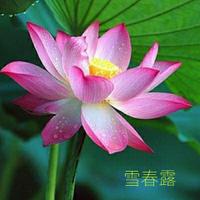 大型荷花種子 觀賞荷花 花籽 池塘專用蓮藕種子 水生花卉種子