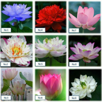 45種小型蓮花種子♡水生植物荷花種子碗蓮種子睡蓮花盆水耕植物荷花