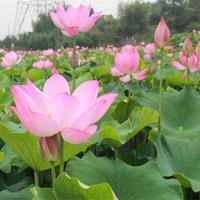688花園:大型荷花種子高產蓮子蓮藕種子觀賞食用大田水缸池塘蓮花卉種子