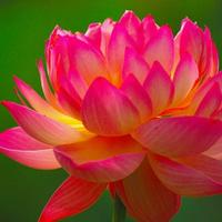 688花園:大型荷花種子多年生產藕產蓮子 池塘大田觀賞四季播花卉綠植種子