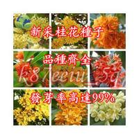 桂花 (種子) 金桂 丹桂 沈香桂 狀元紅 硃砂桂 四季桂花 低溫冷藏 沙藏5棵裝 (種子) 花卉 (種子)
